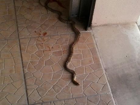 Cobras e lagartos entram em casas