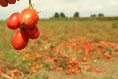 Há 60% de produtores ainda com tomate nos campos