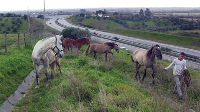 Cavalos fugiram para o IC10 (VIDEO)